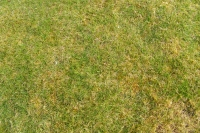 Very mottled lawn (before treatment)