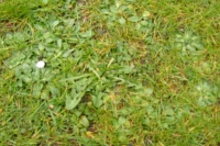 Close-up of lawn with lots of weeds in it
