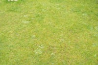 Another lawn before treatment