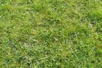 Weedy lawn