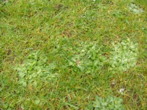 Lawn with weeds/moss before treatment