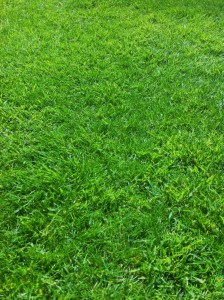 lawn after treatment (2)