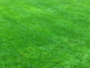 The same lawn after treatment